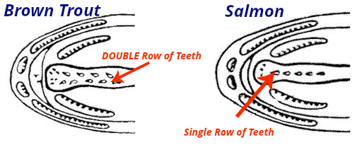 Teeth in Trout