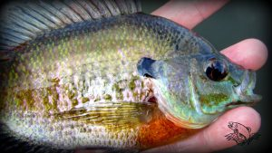 How to fly fish bluegill