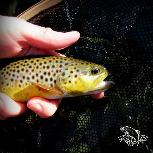 brown on nymph