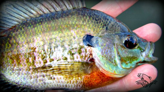 How to Fly Fish for Bluegills (Plus a KILLER Fly to Try!)