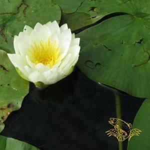 water lilies - bluegill hotel