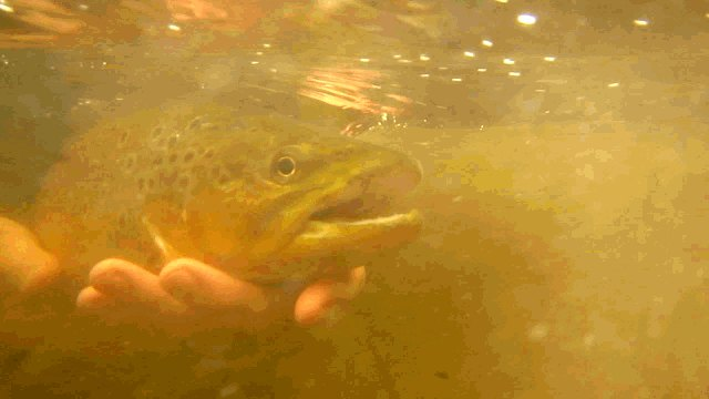 Brown Trout Davidson River NC