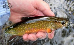 Fishing Brook Trout Montana