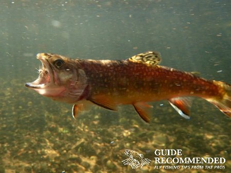 Brook Trout on the Exeter River