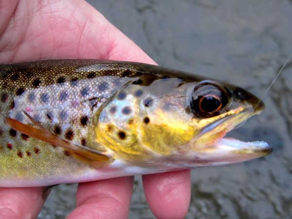 Wild trout in Hat Creek