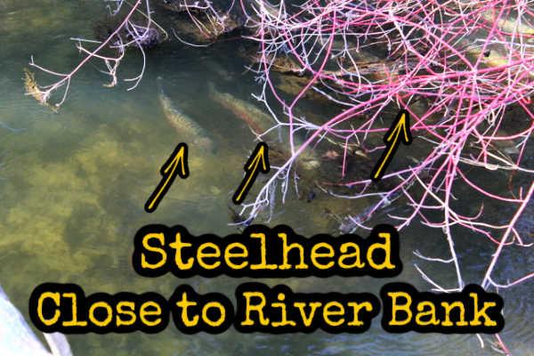 Steelhead Close to River Bank