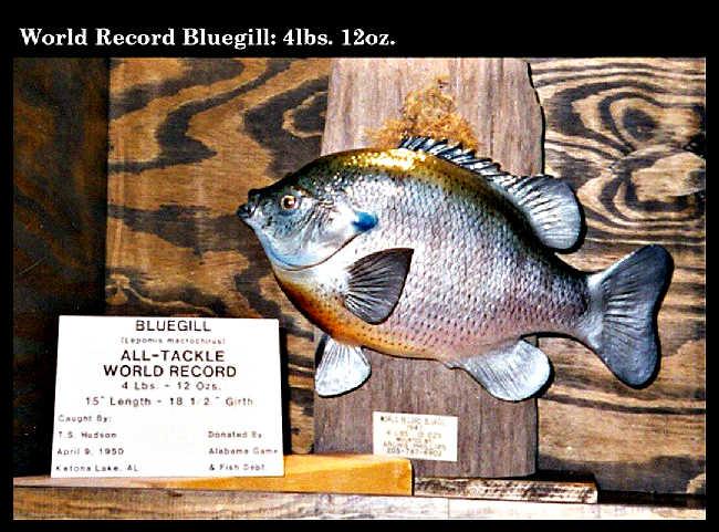 World Record Bluegill