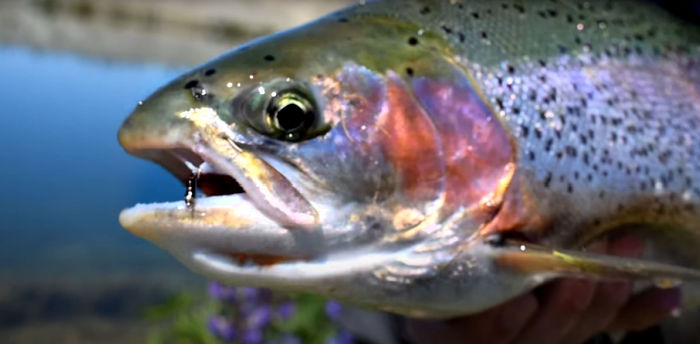 Big Rainbow Trout on Flies