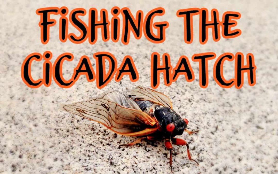 How to Fly Fish with Cicadas [Plus an Easy Fly to Tie]