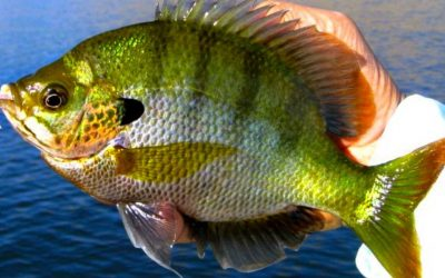 The Best Flies for Panfish (How to Fish and Tie)