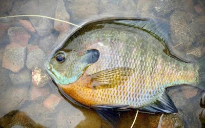 The Blues of Summer (Fly Fishing for Summertime Bluegills)
